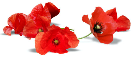 Poppies_Closeup_Red_494435