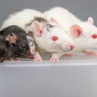 2/3 Сената США проголосовали за финансирование исследований по скрещиванию абортированных человеческих эмбрионов с животными